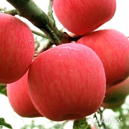 Best price fuji apple fresh fruit