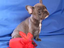 French Bulldog - Blue Girl