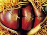 Fresh chestnut - photo 3