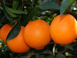 Fresh Gannan navel orange fruit - photo 1