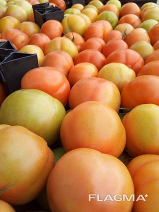 Fresh tomatoes in vietnam with best price