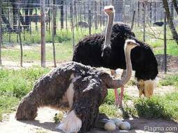Livestock and ostrich chicks - photo 4