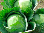 Wholesale fresh cabbage - photo 2